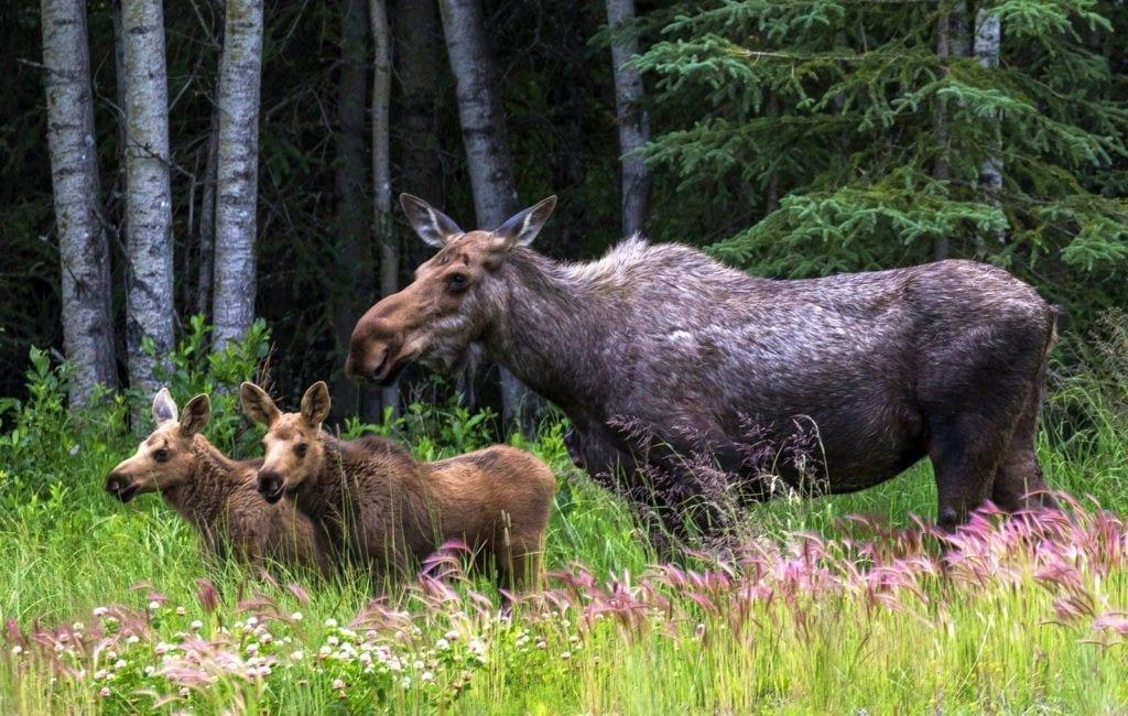 symbolic moose facts