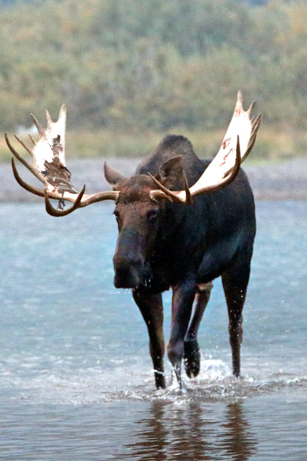 symbolic moose facts and moose totem meaning