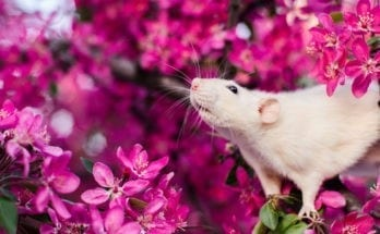 meaning of rats