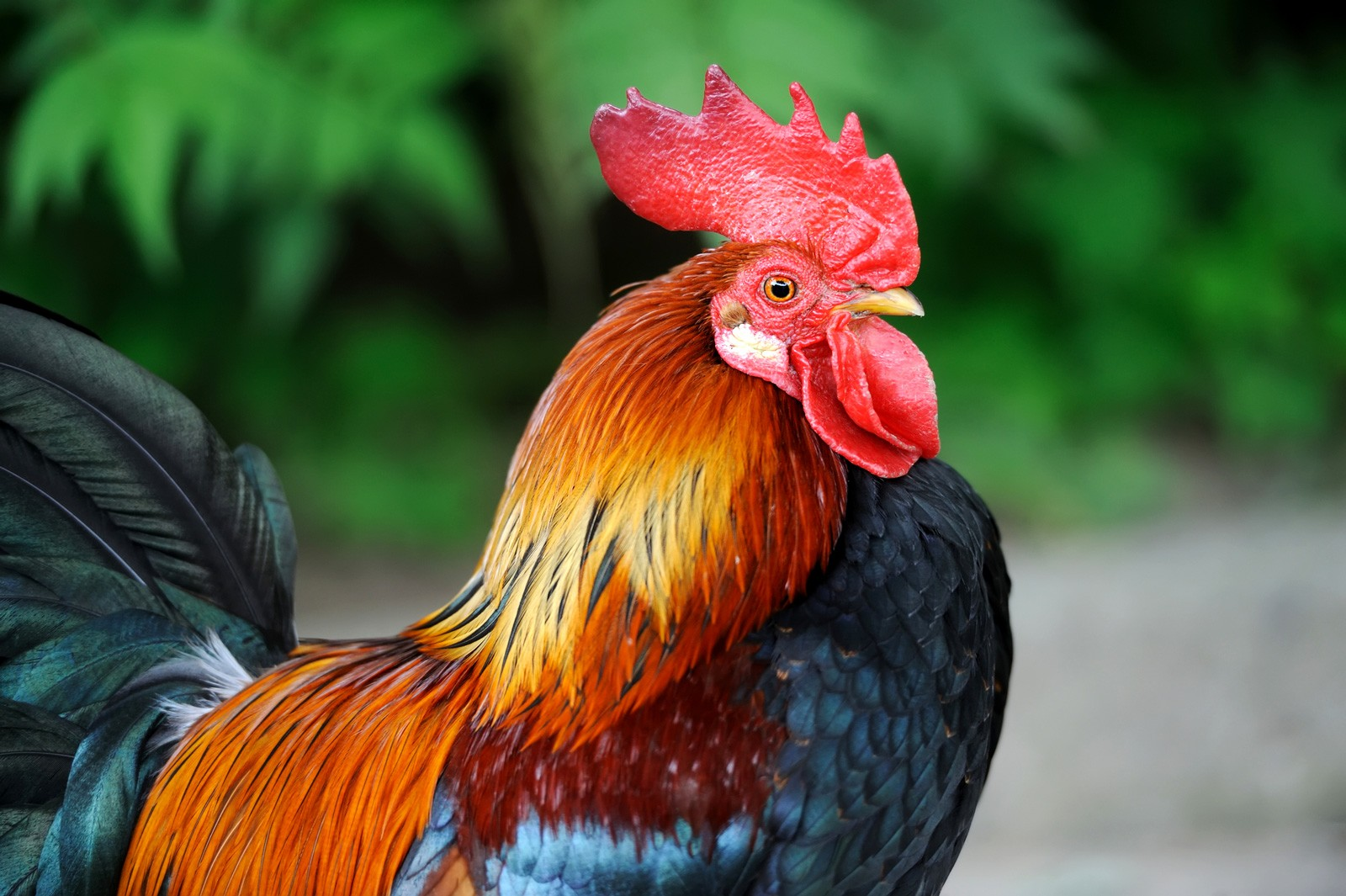 Symbolic Meaning of the Rooster on Whats-Your-Sign