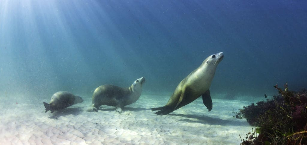symbolic meaning of seals and sea lions
