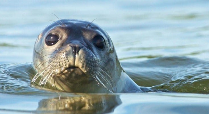 meaning of seals, meaning of sea lions