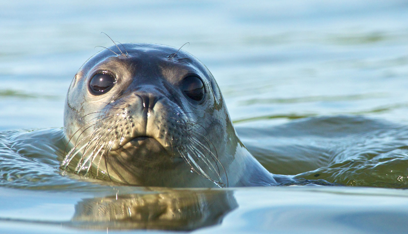 Symbolic Meaning of Seals, Sea Lions and Selkies