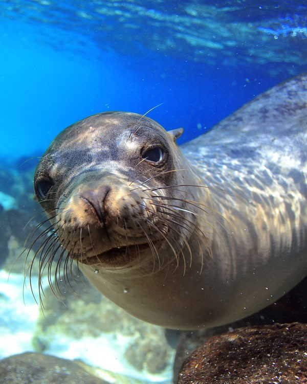 meaning of seals and sea lions