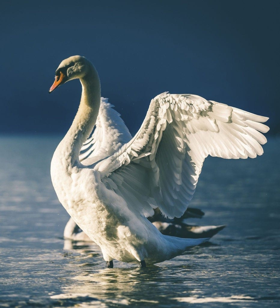 swan meaning and swan symbolism