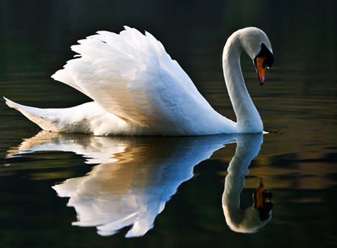 Celtic swan meaning
