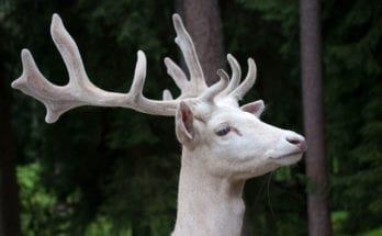 symbolic meaning of the white buck