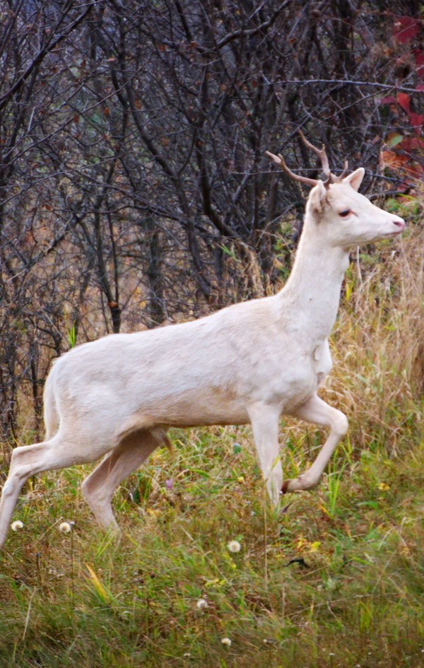 meaning of the white buck
