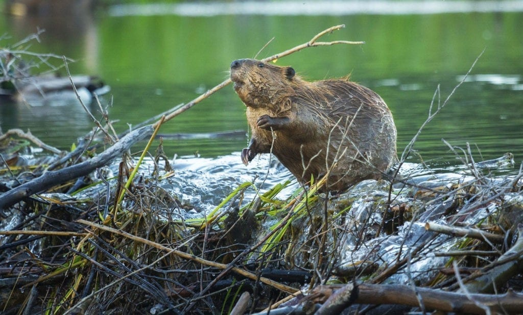 Beaver meaning celtic sign