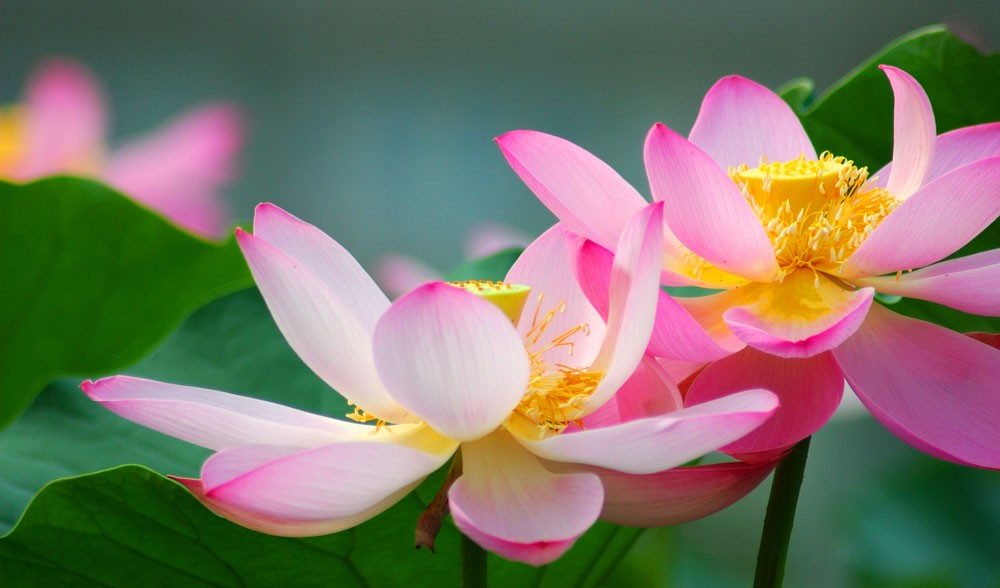 Lotus flower meanings and lotus symbolism on whats your sign lotus flower meanings and water associations mightylinksfo Image collections