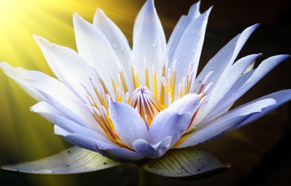 lotus meaning