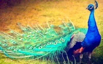 symbolic peacock tattoo ideas