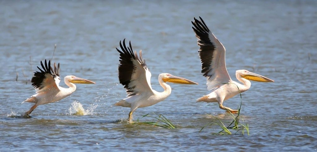 symbolic pelican meaning
