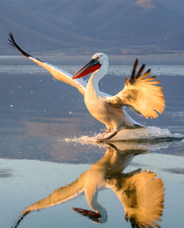 symbolic pelican meaning and pelican totem