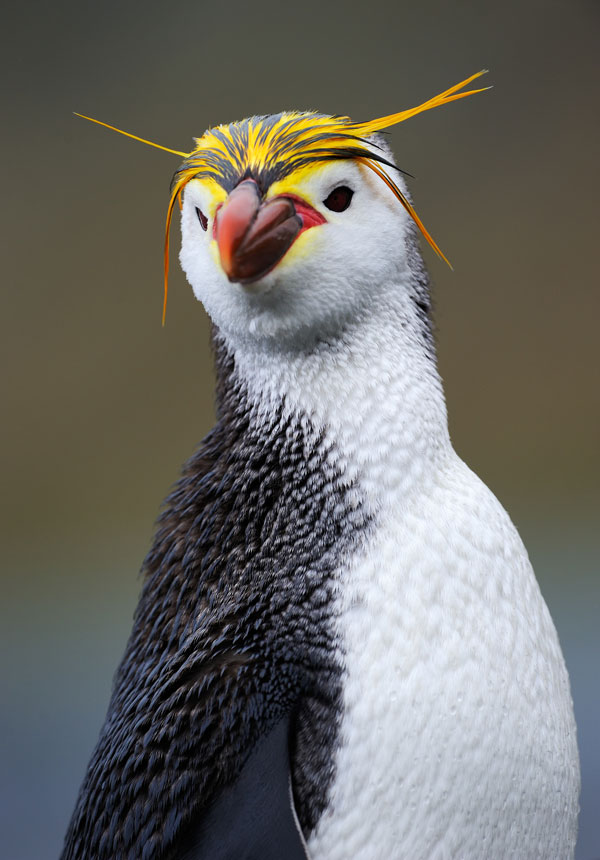 symbolic penguin facts and penguin meaning