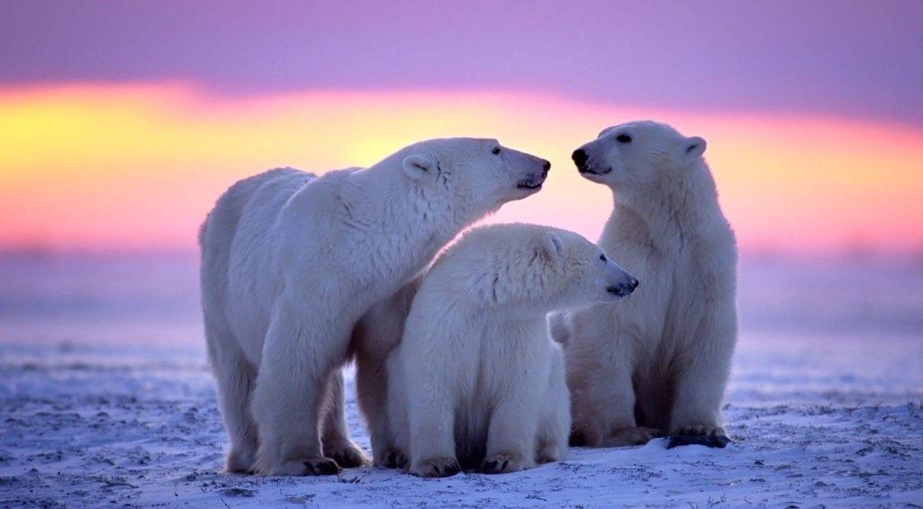 polar bear facts and symbolic polar bear meaning