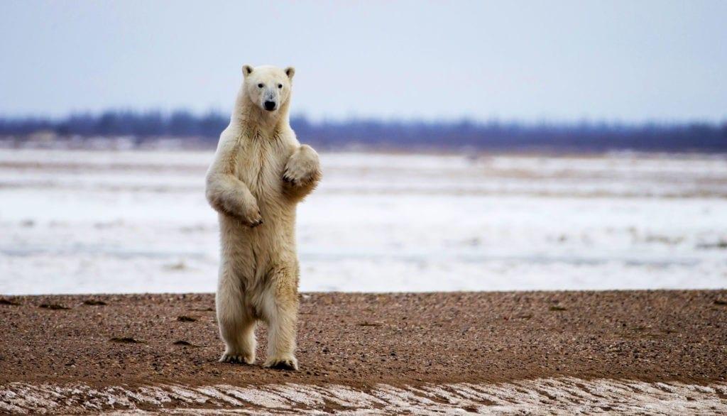 symbolic polar bear meaning and polar bear totem