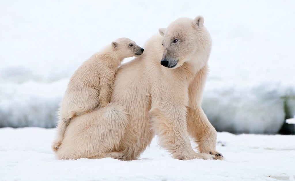 symbolic polar bear facts