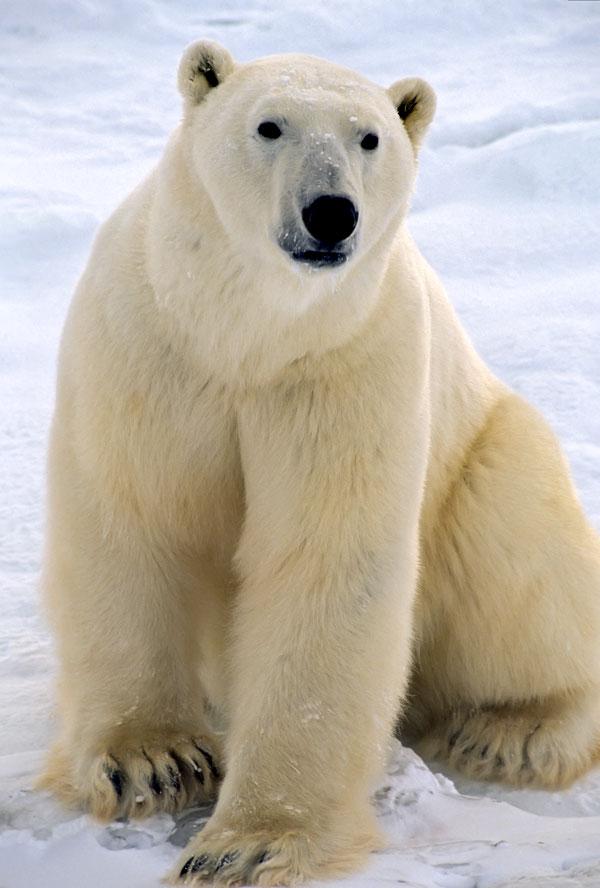 polar bear facts and polar bear totem meaning