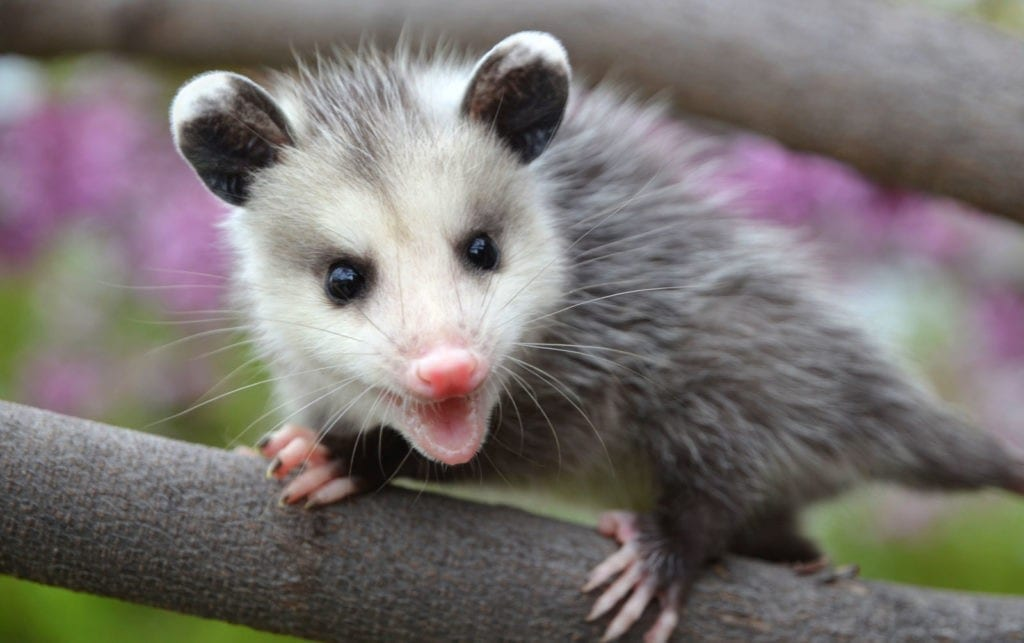 symbolic possum meaning and totem meaning