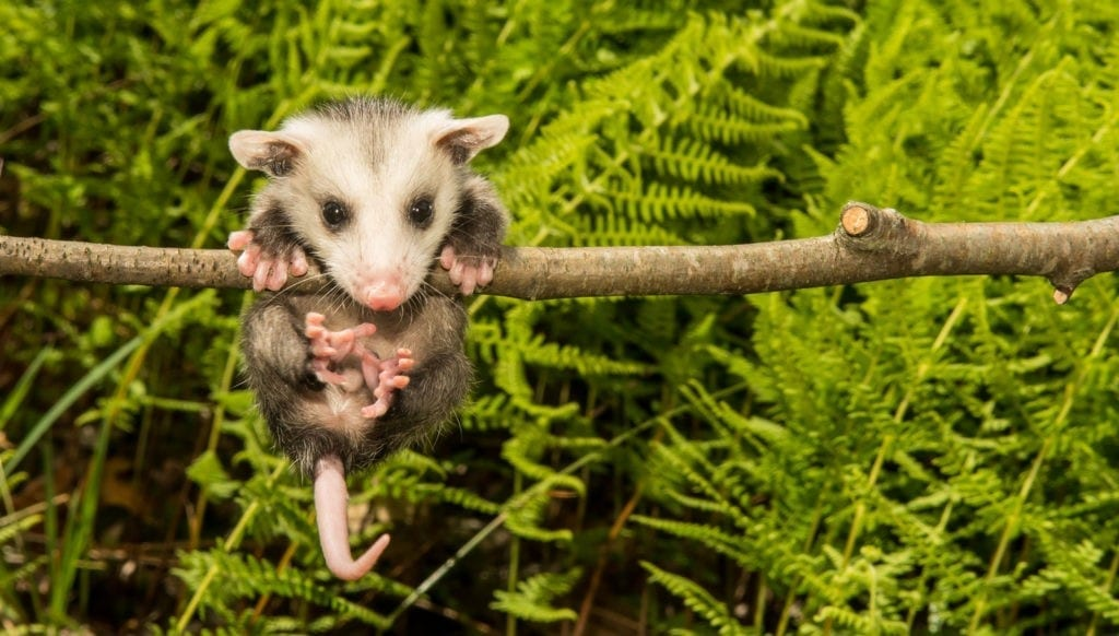 opossum meaning and possum meaning