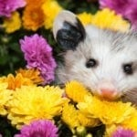 symbolic possum meaning