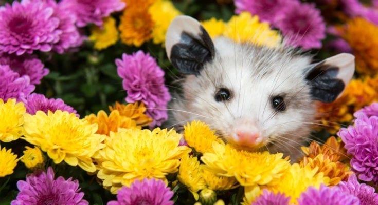 symbolic possum meaning