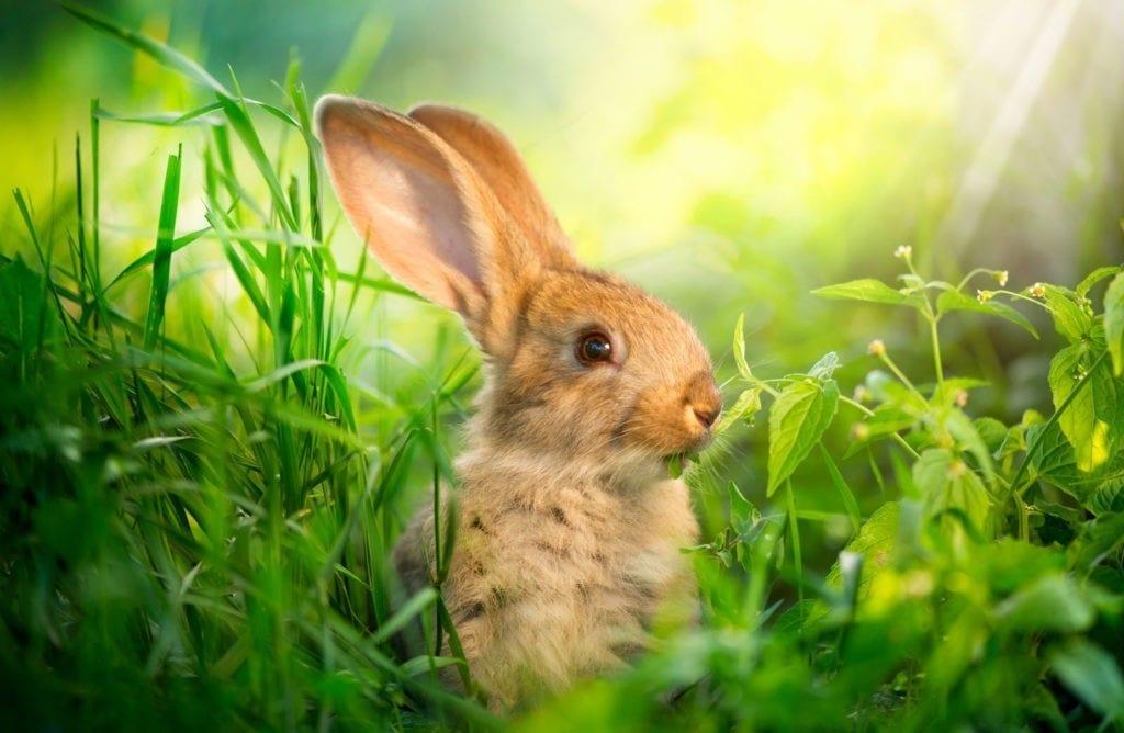 rabbit meanings good luck symbols
