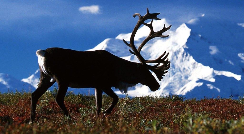 reindeer meaning