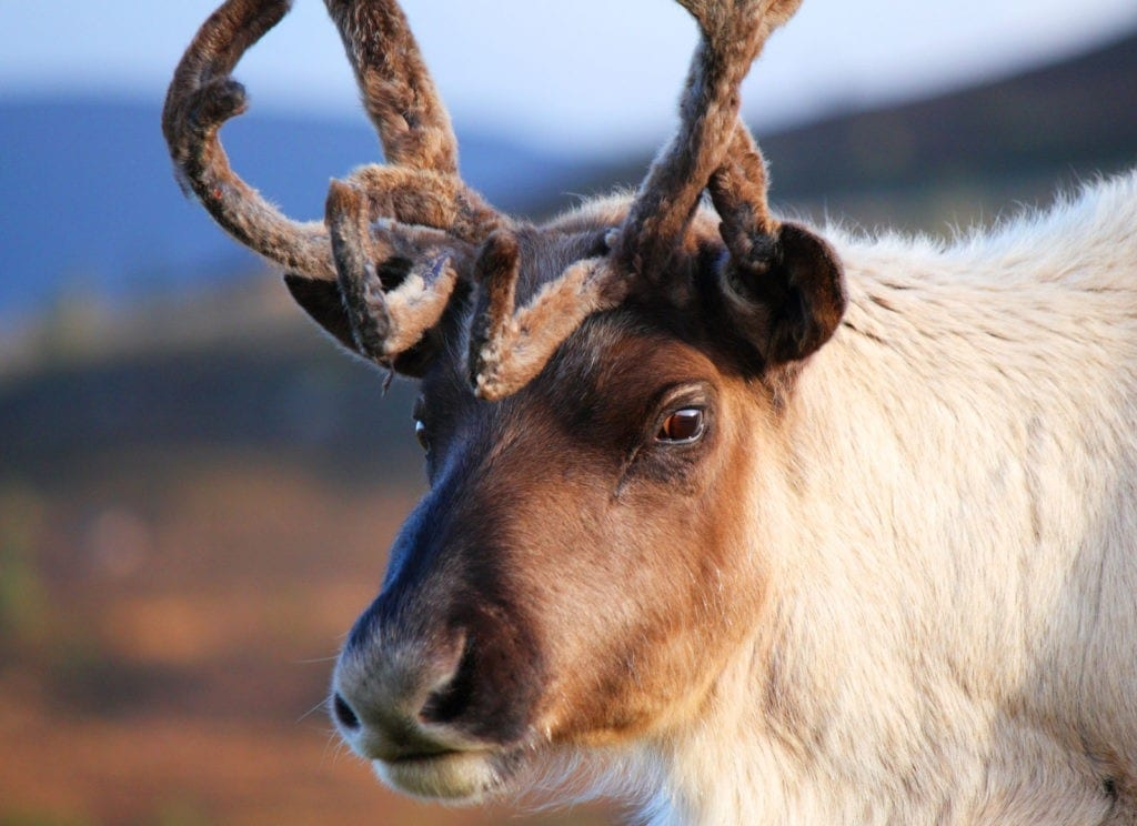 reindeer meaning and reindeer animal totem