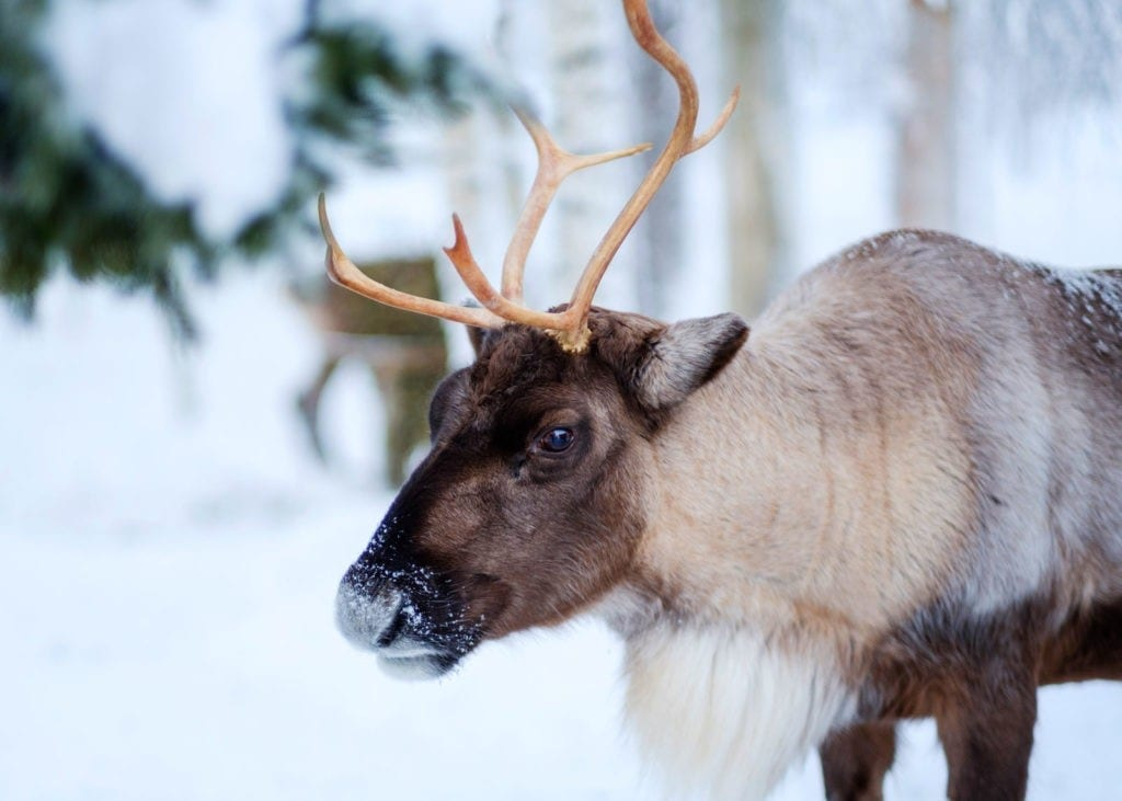 symbolic reindeer meaning