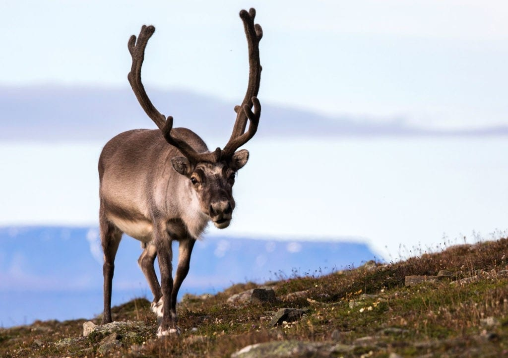 reindeer meaning and reindeer animal totem meaning