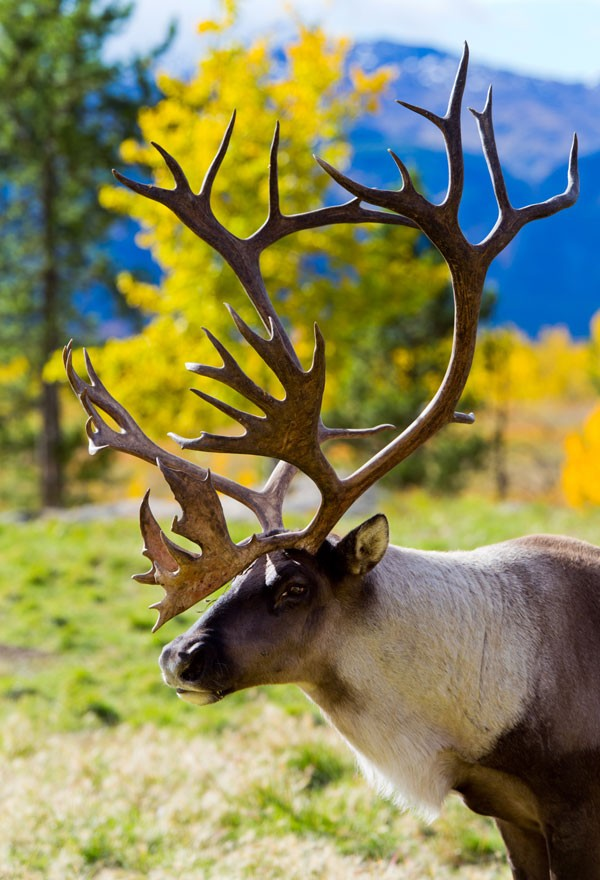symbolic reindeer meaning and reindeer totem animal
