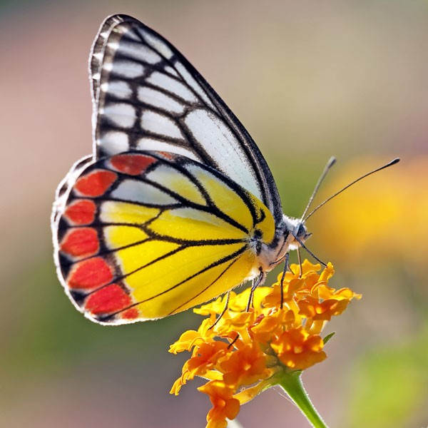 symbols for renewal butterfly meaning