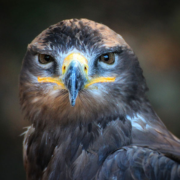 symbols for renewal hawk meaning