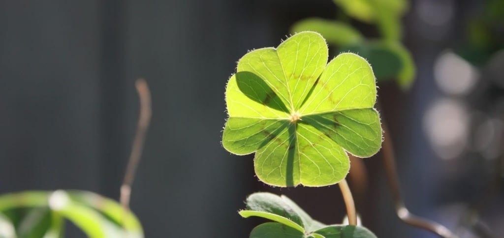 symbolic shamrock meaning and meaning of the four-leaf clover