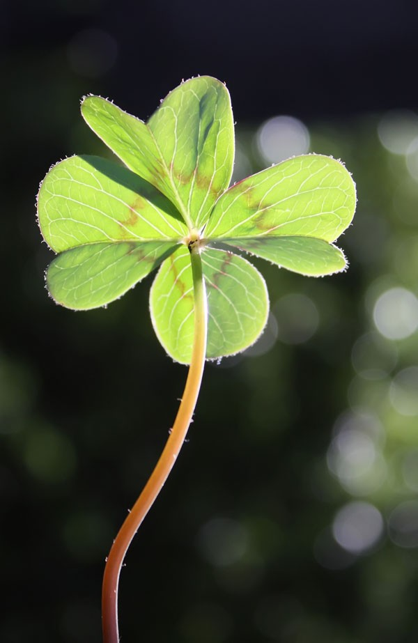 symbolic shamrock meaning four-leaf clover meaning