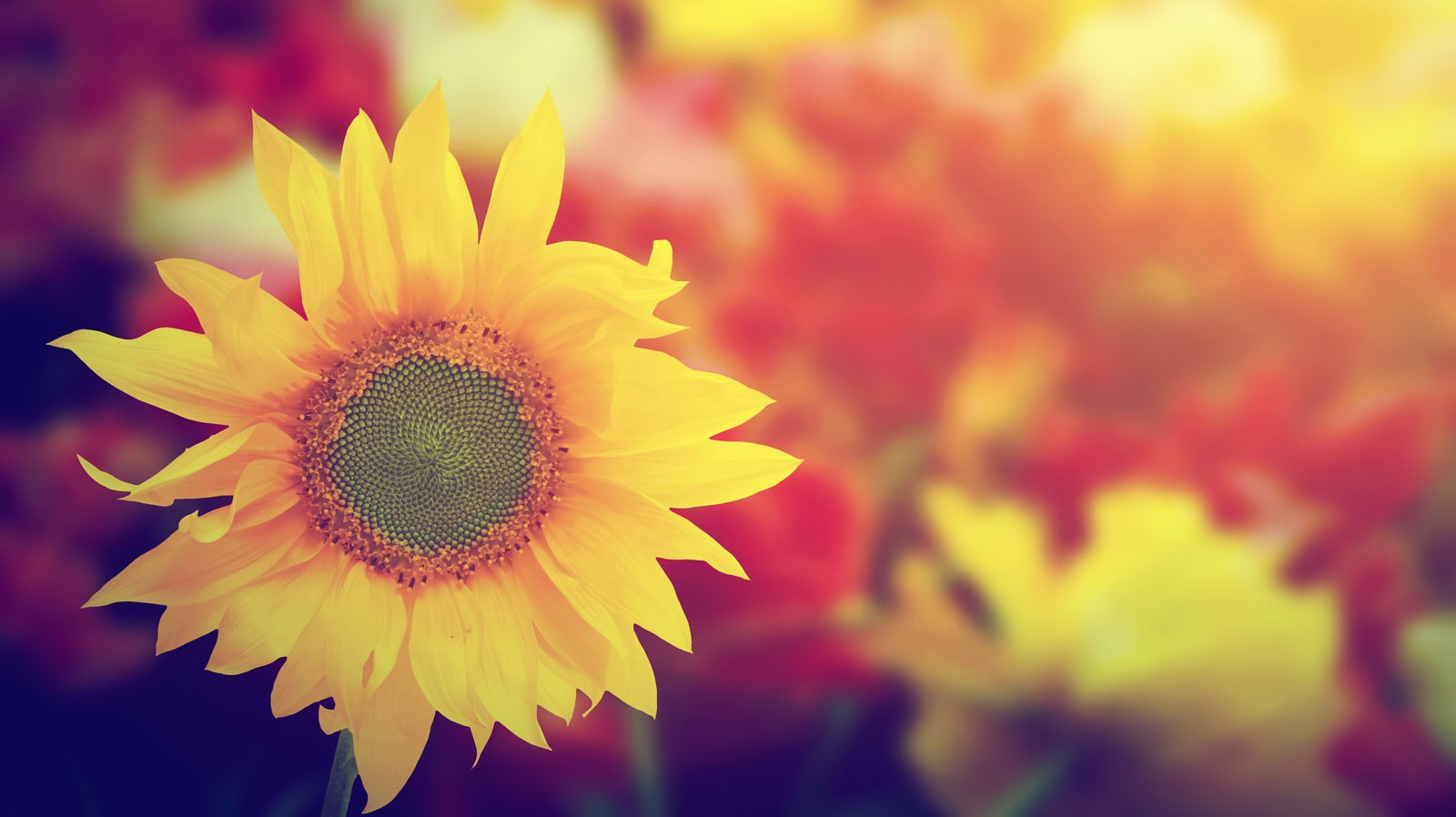 Symbolic Sunflower Meaning and Sunflower Insight on Whats ...