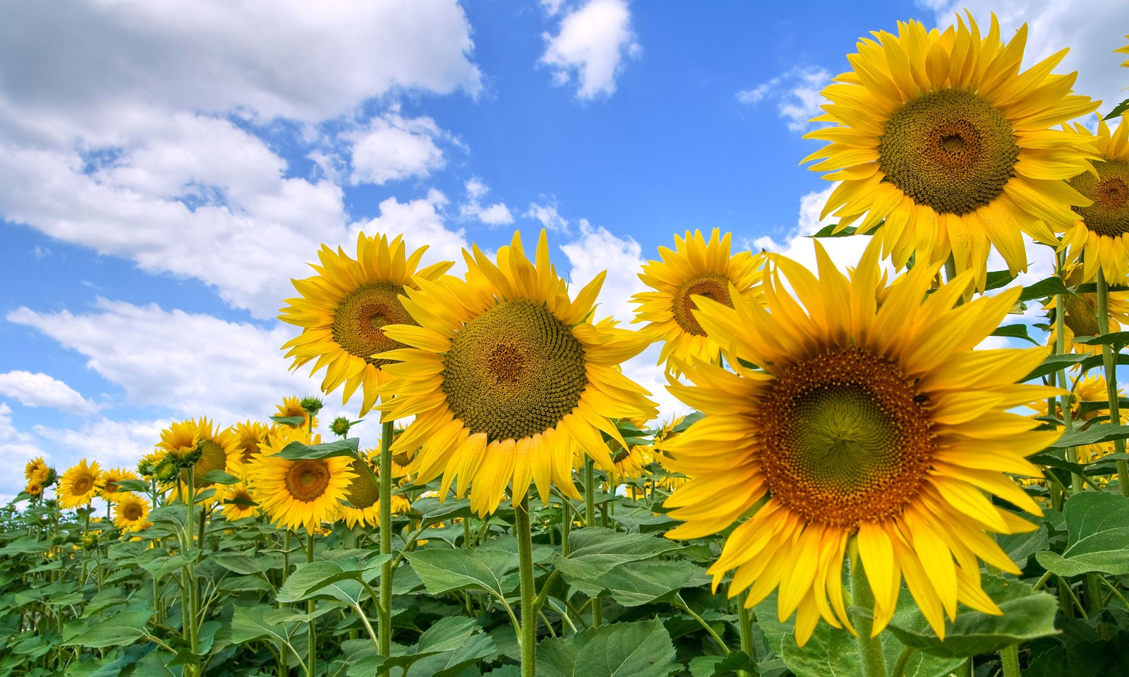 Symbolic Sunflower Meaning And Sunflower Insight On Whats Your Sign
