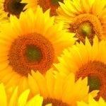 symbolic sunflower meaning