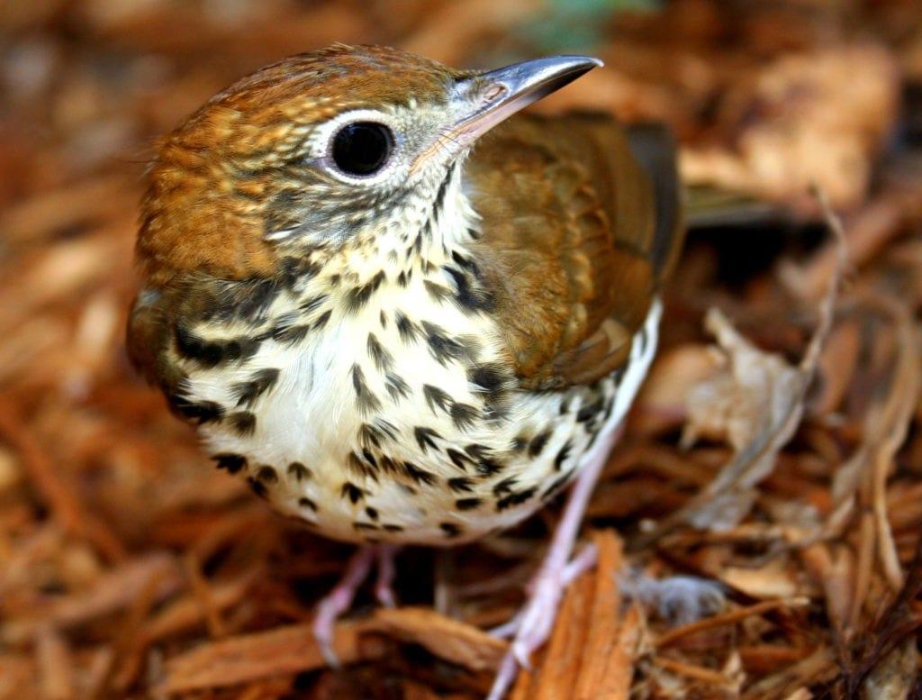 thursh bird symbolism