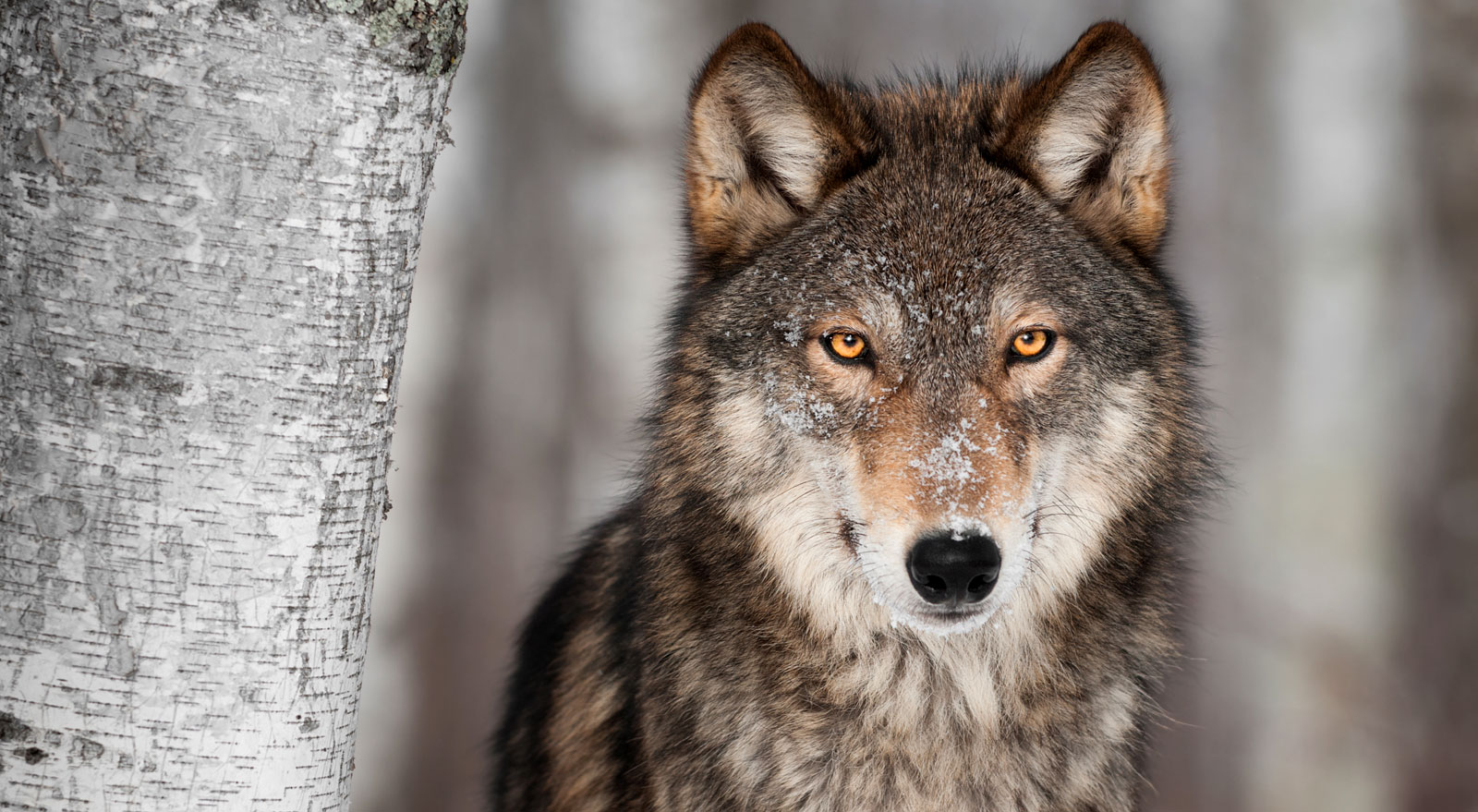 Wolf Totem Meaning