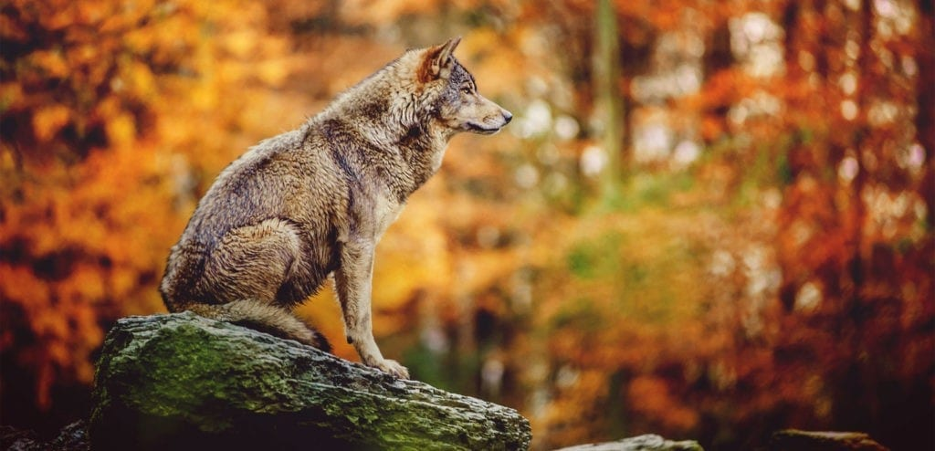 totem wolf symbol meaning