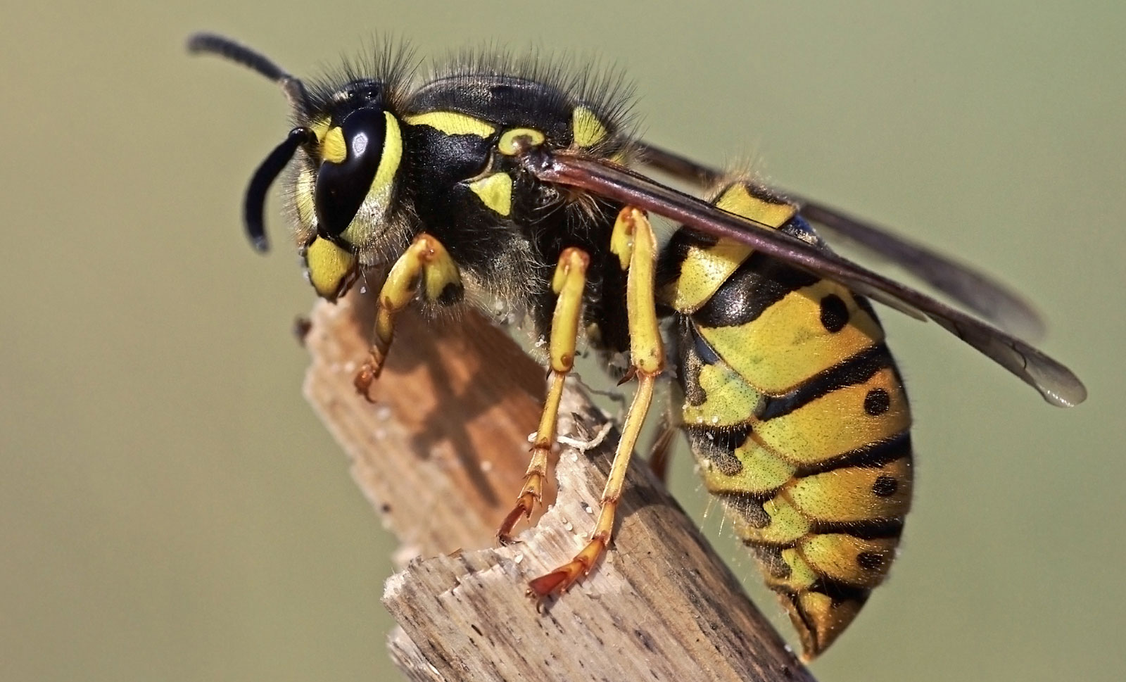 Wasp Meaning And Wasp Symbolism On Whats Your Sign