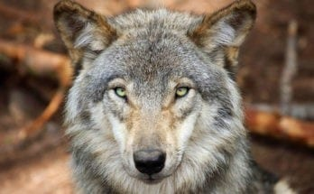 wolf tattoo meaning and wolf totem