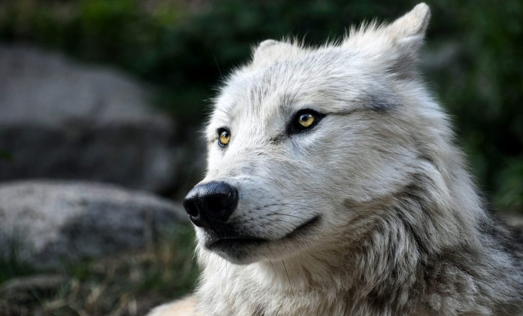 wolf tattoo meaning wolf totem meaning