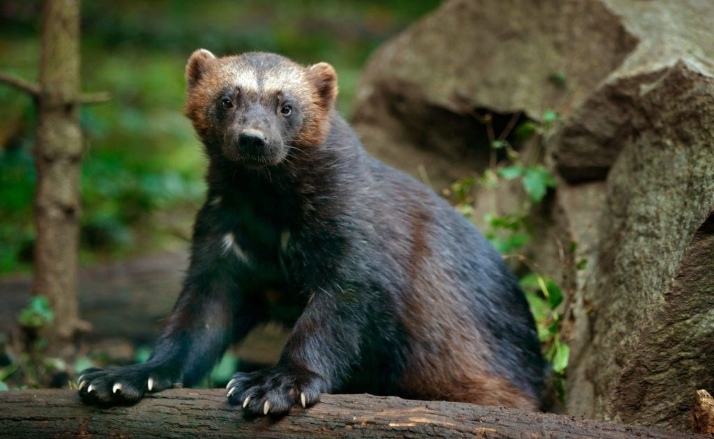 wolverine meaning and wolverine totem meaning