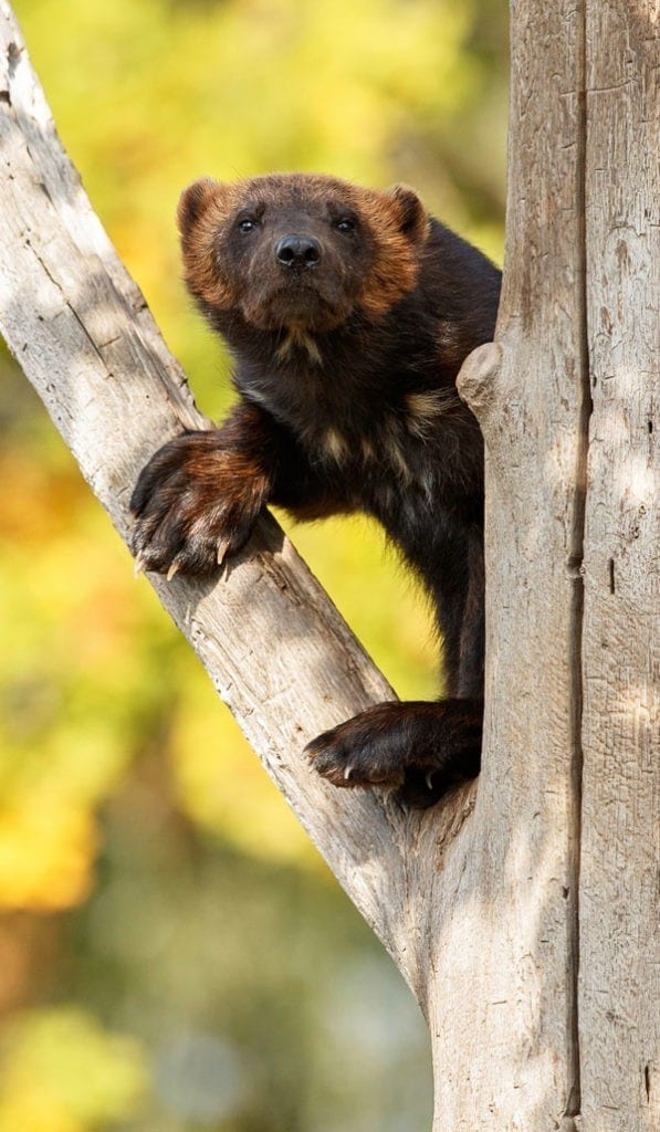symbolic wolverine meaning and wolverine totem