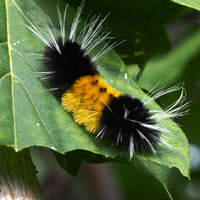 woolly caterpillar meaning