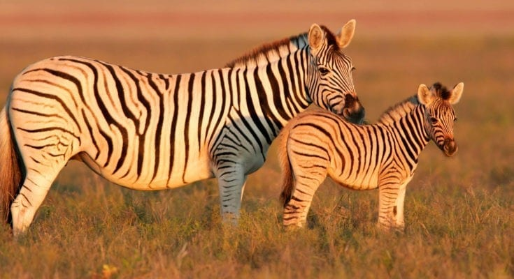 zebra facts and symbolic meaning